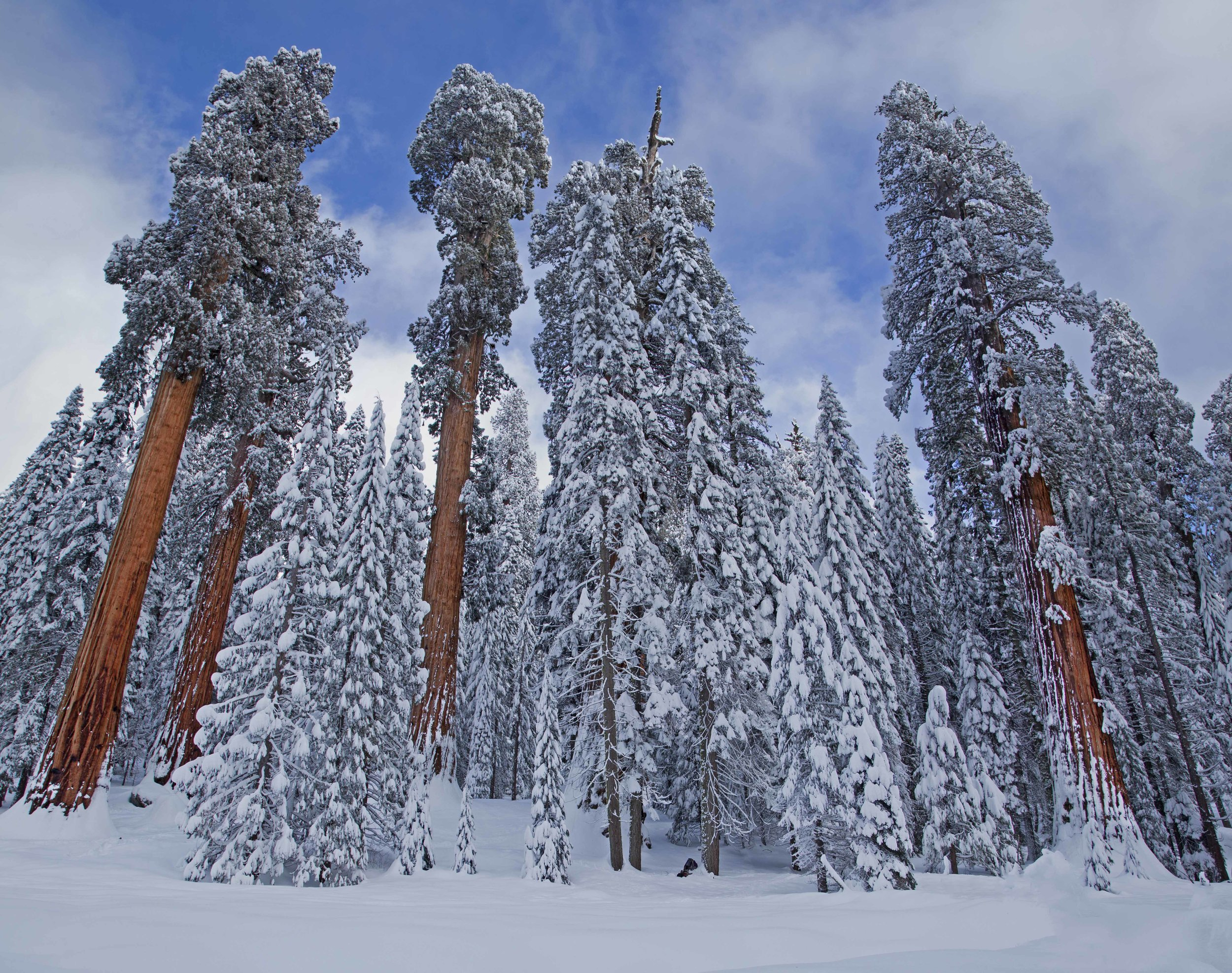 Trees in snow_Ambrose.jpg