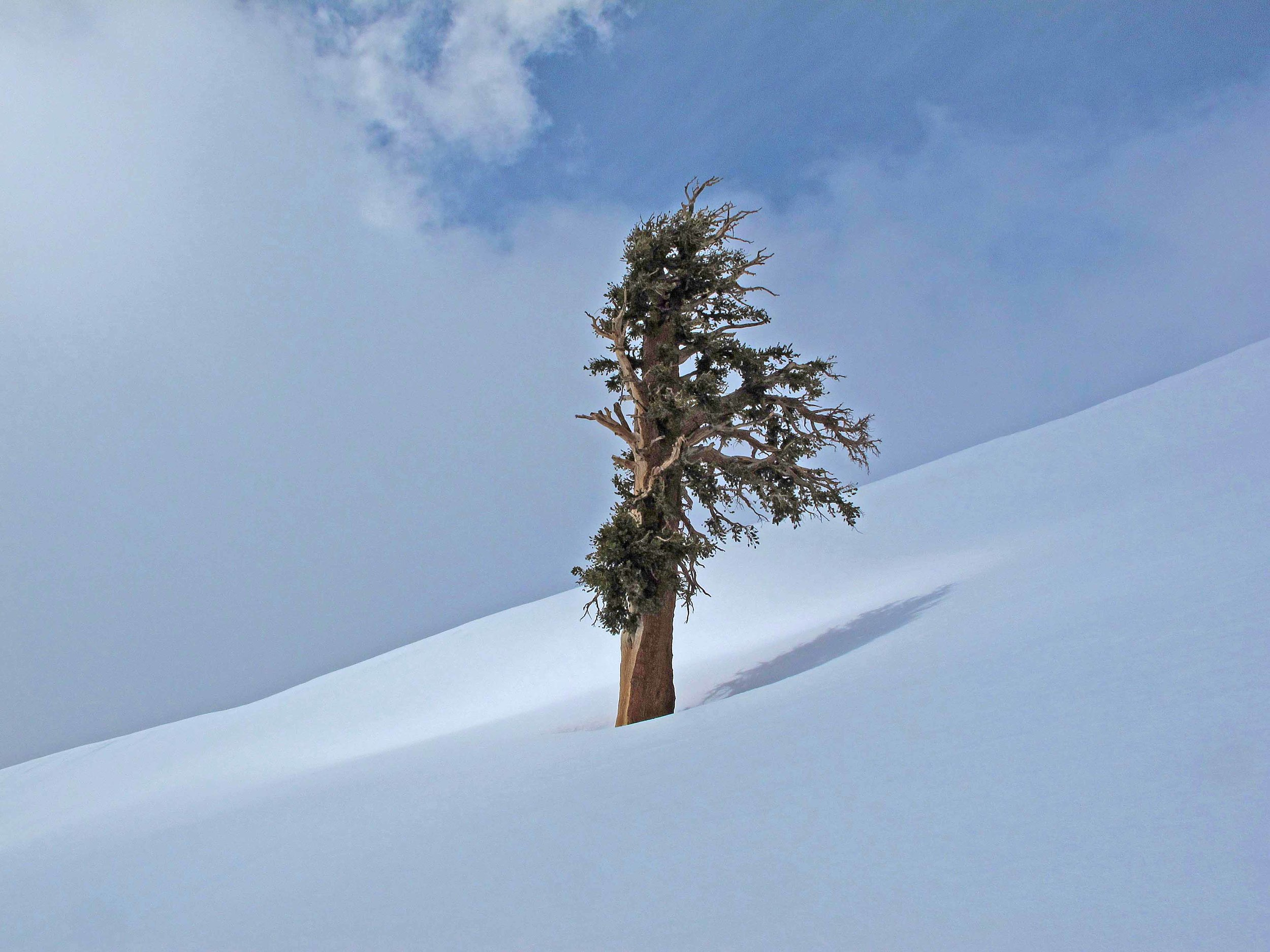 Foxtail Pine_low res.jpg