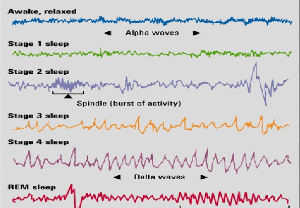 sleep stages.png