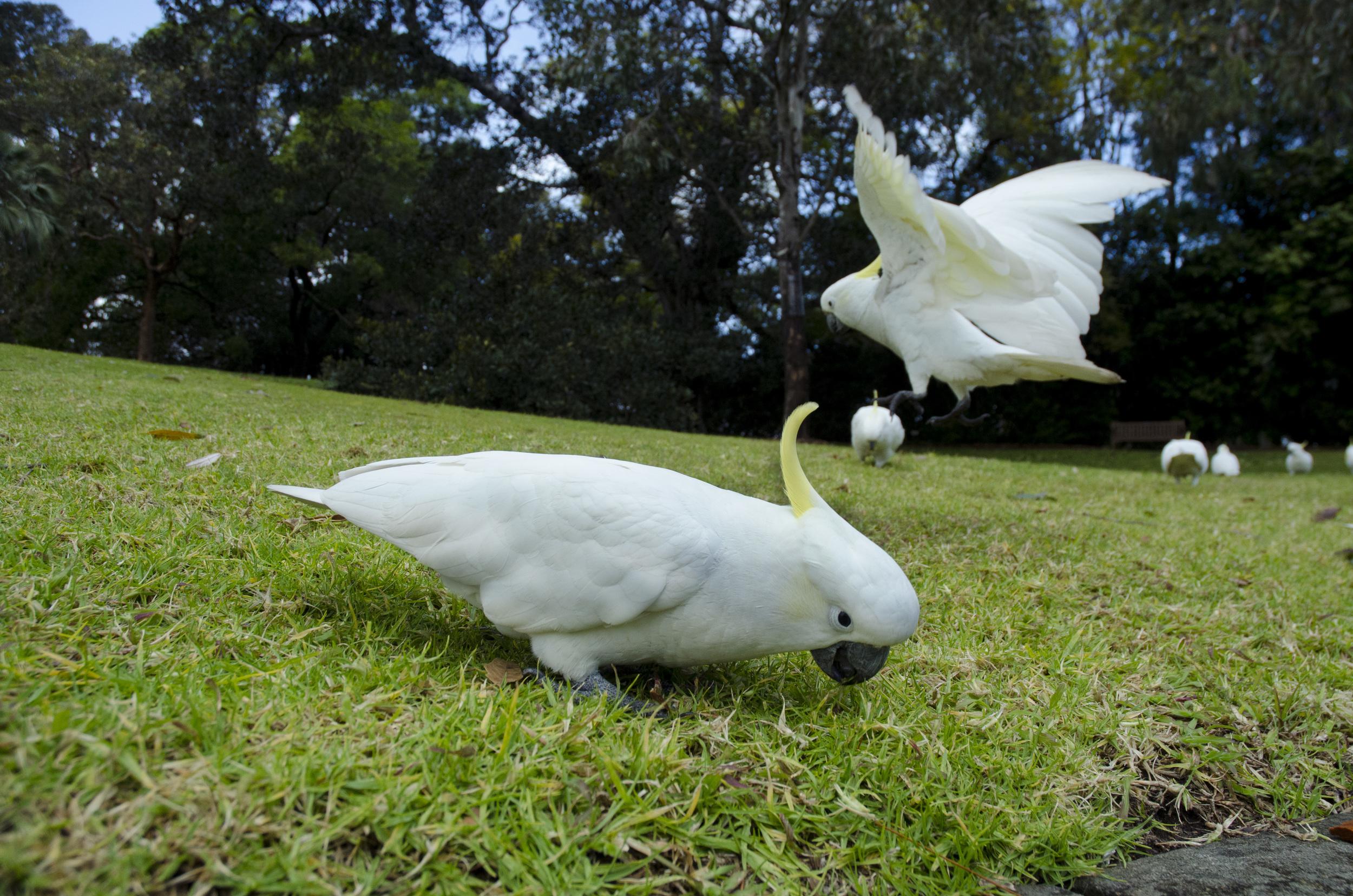 Cockatoos of Sydney