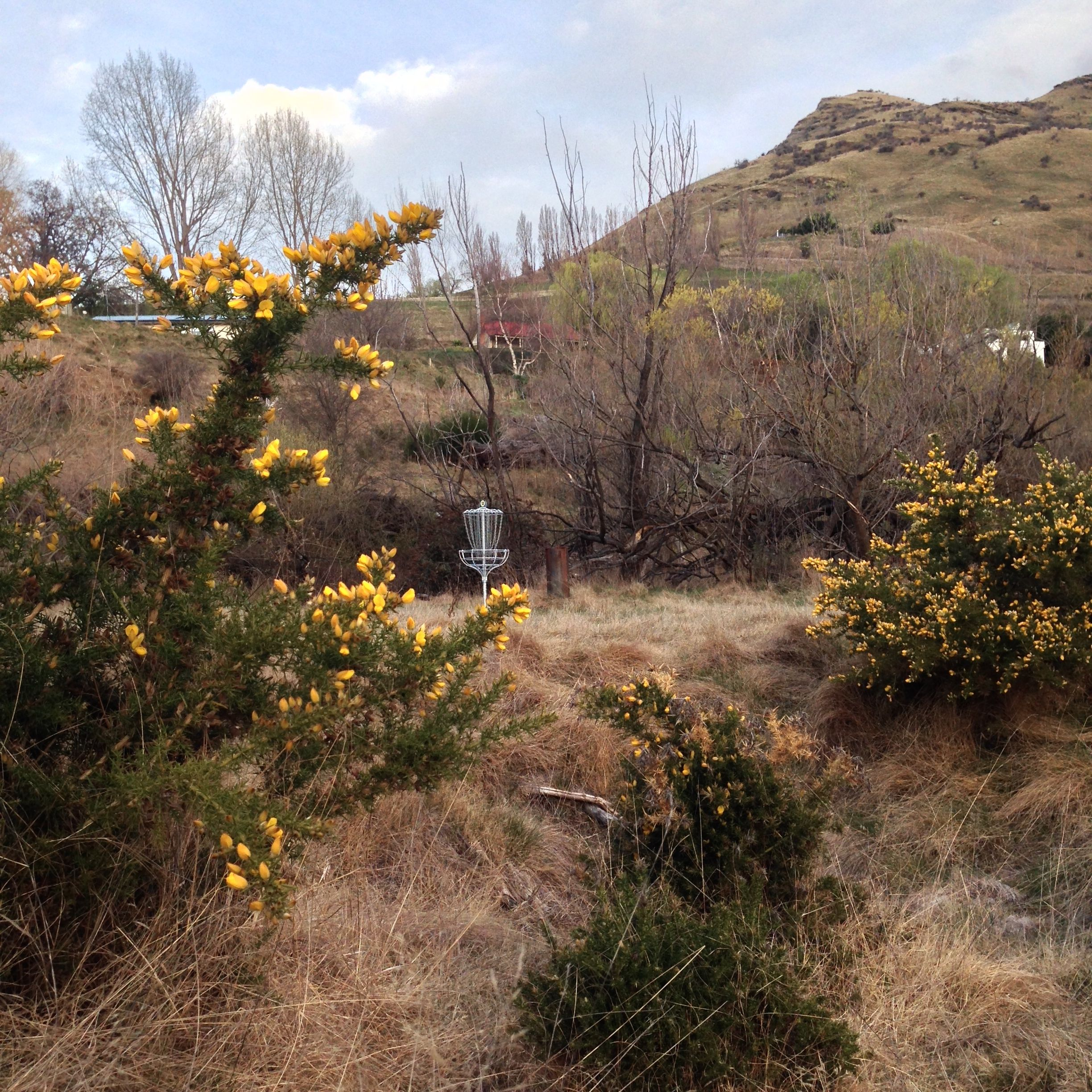 Disc basket with invasive (beautiful) Scotch broom, in the fore ground.