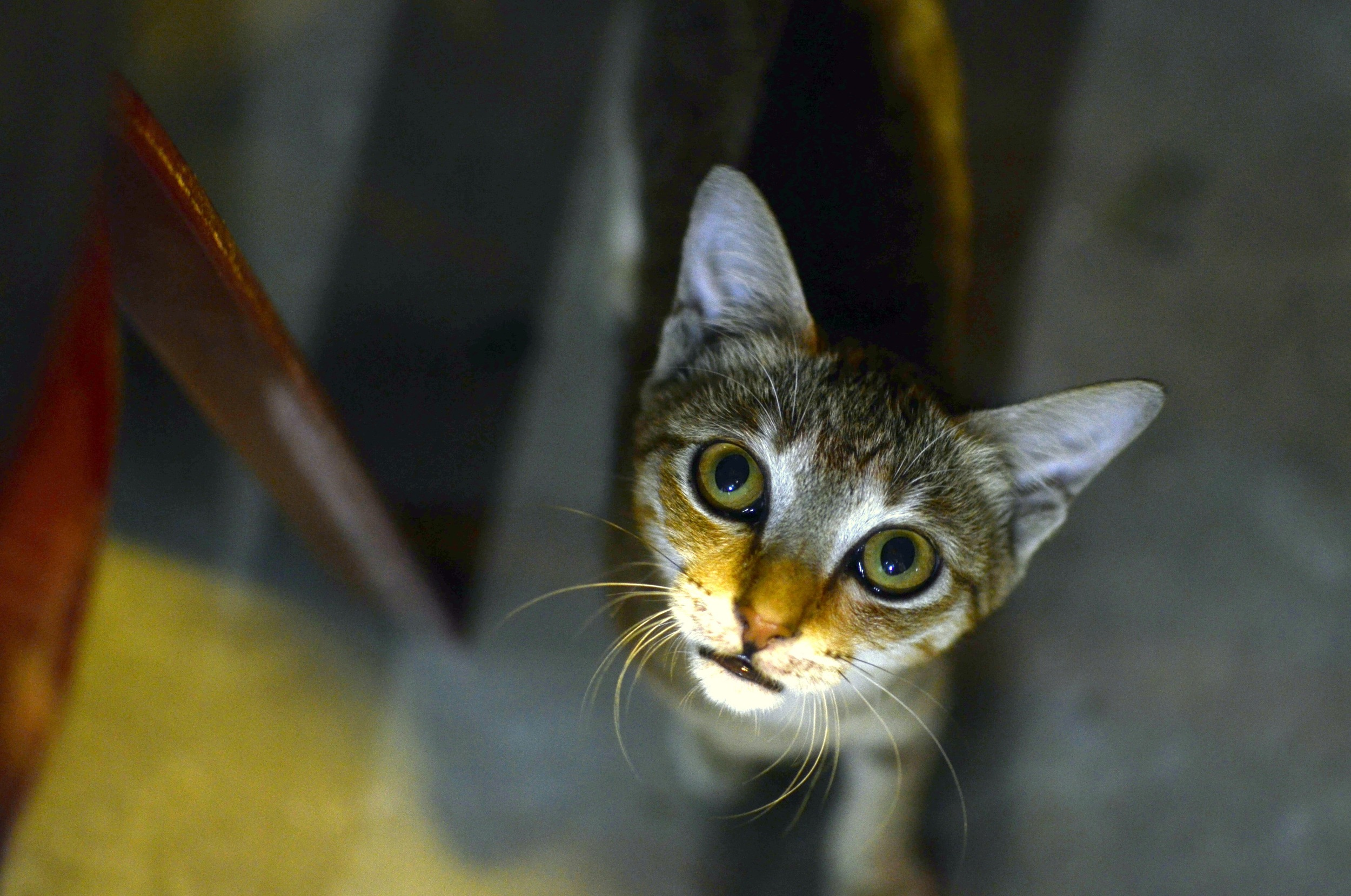 Sweet kitten begging for scraps. There are stray animals everywhere in Vietnam.