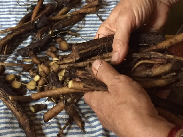 Hands and Maral root IMG_9557.JPG