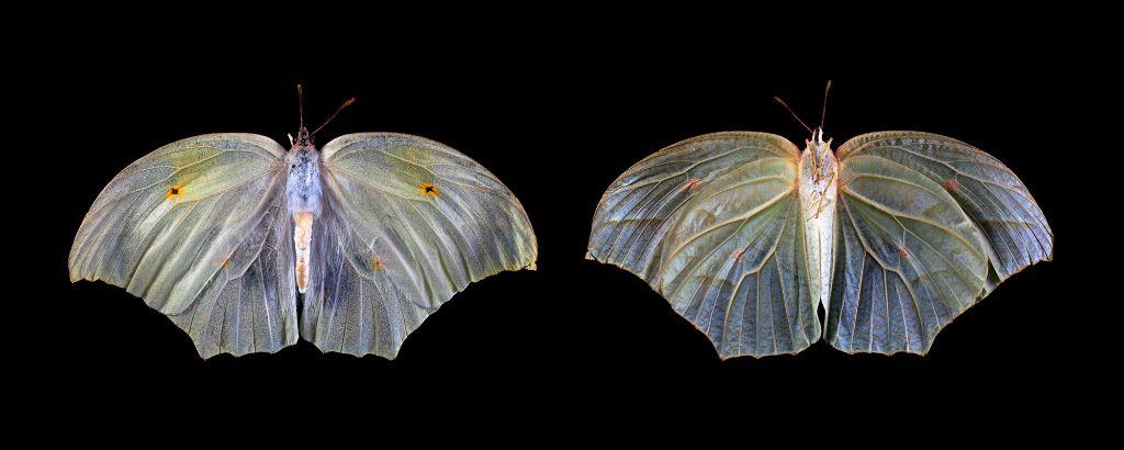 Anteos clorinde - dorsal and ventral views.jpg