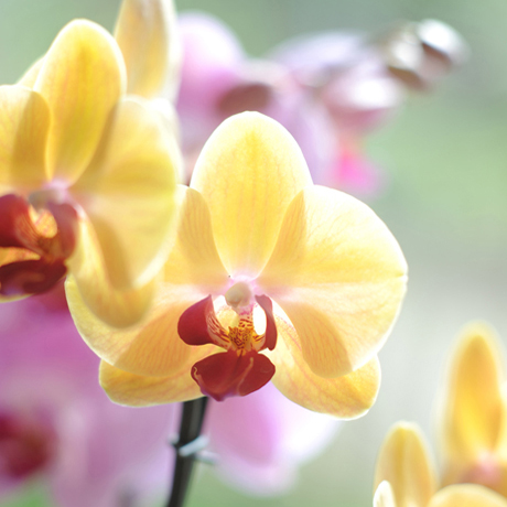 Closeup_Phalaenopsis_yellow-Feature