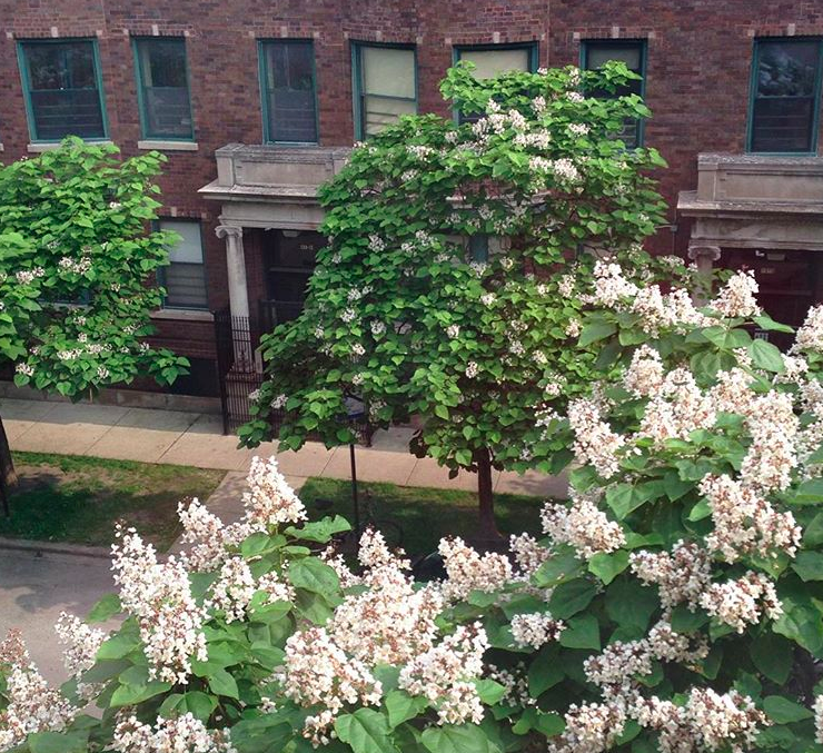 Such a pretty view from my window in Spring—the catalpa trees are in bloom. In the Uptown neighborhood of Chicago, Illinois, USA.