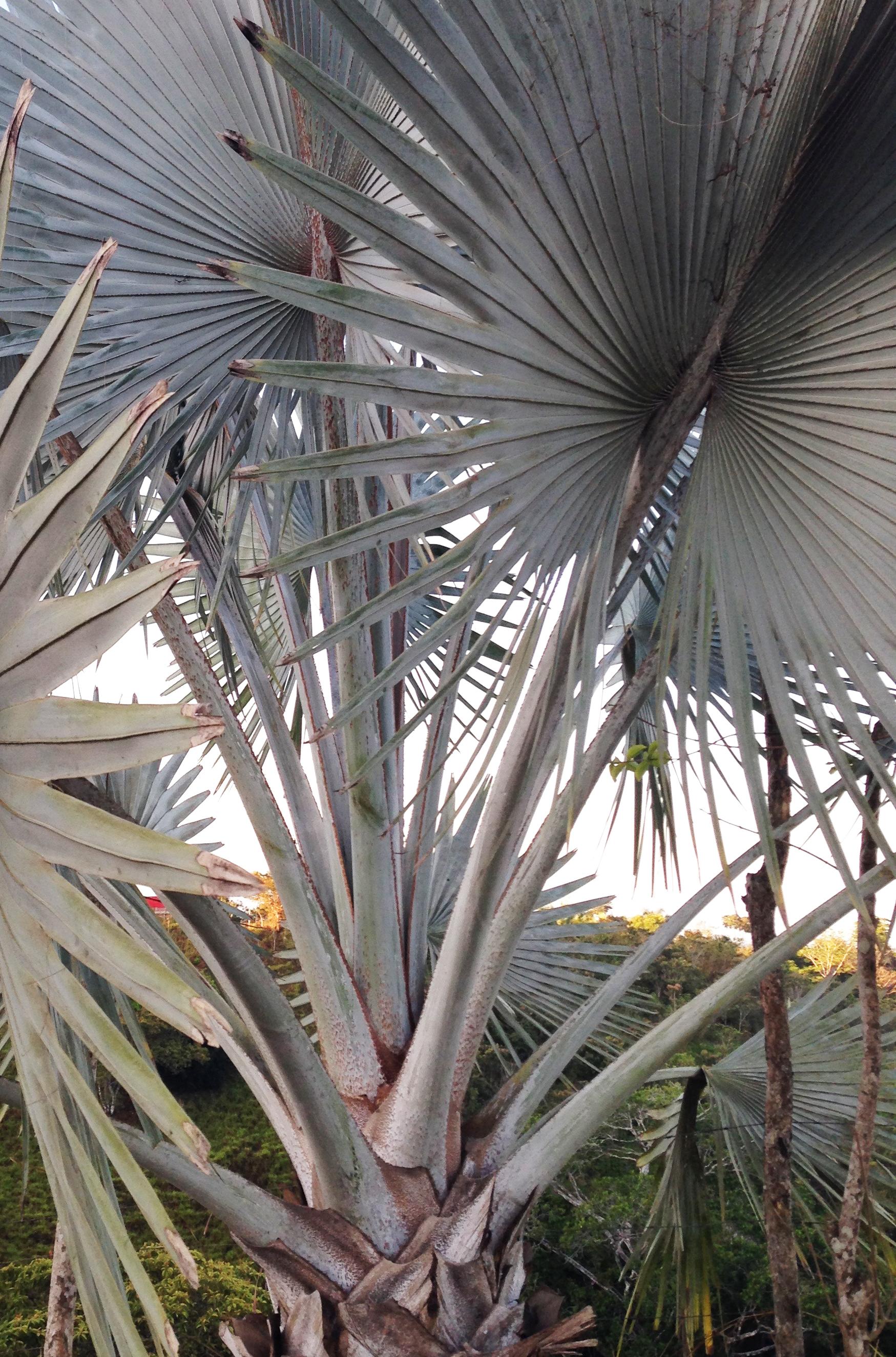 A Silver Bismarck Palm.