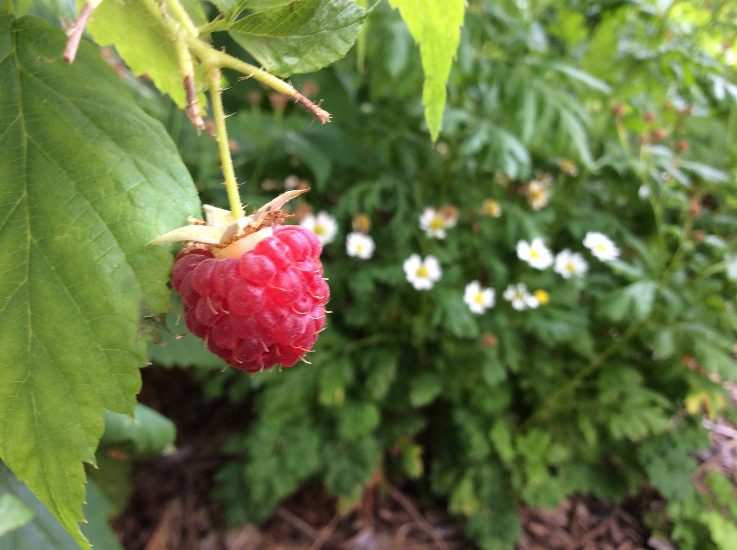 This raspberry didn't last long after I took this photo - yum!