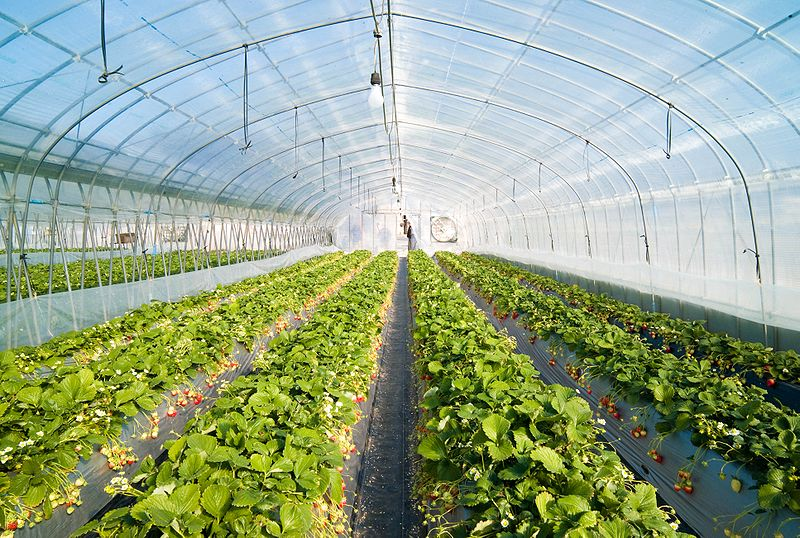 800px-Strawberry_greenhouse.jpg