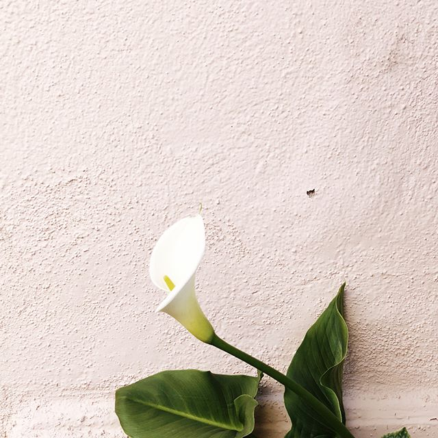 A white calla lilly from our garden to remember my sweet father-in-law who passed away on April 23. He loved flowers and gardening, and was a master at growing things back to life. I'm thankful that he passed along some of those skills to my husband, @benjababy. We love you and miss you Scott. 😘