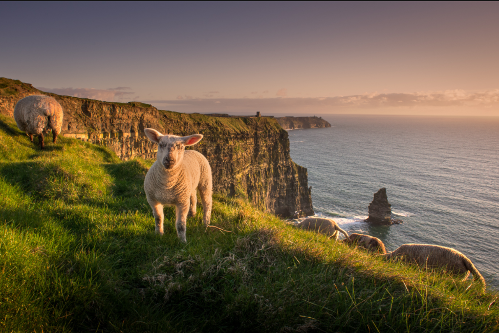 sheep at the edge of Cliffs of Moher.png