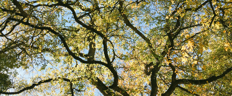 smu tree