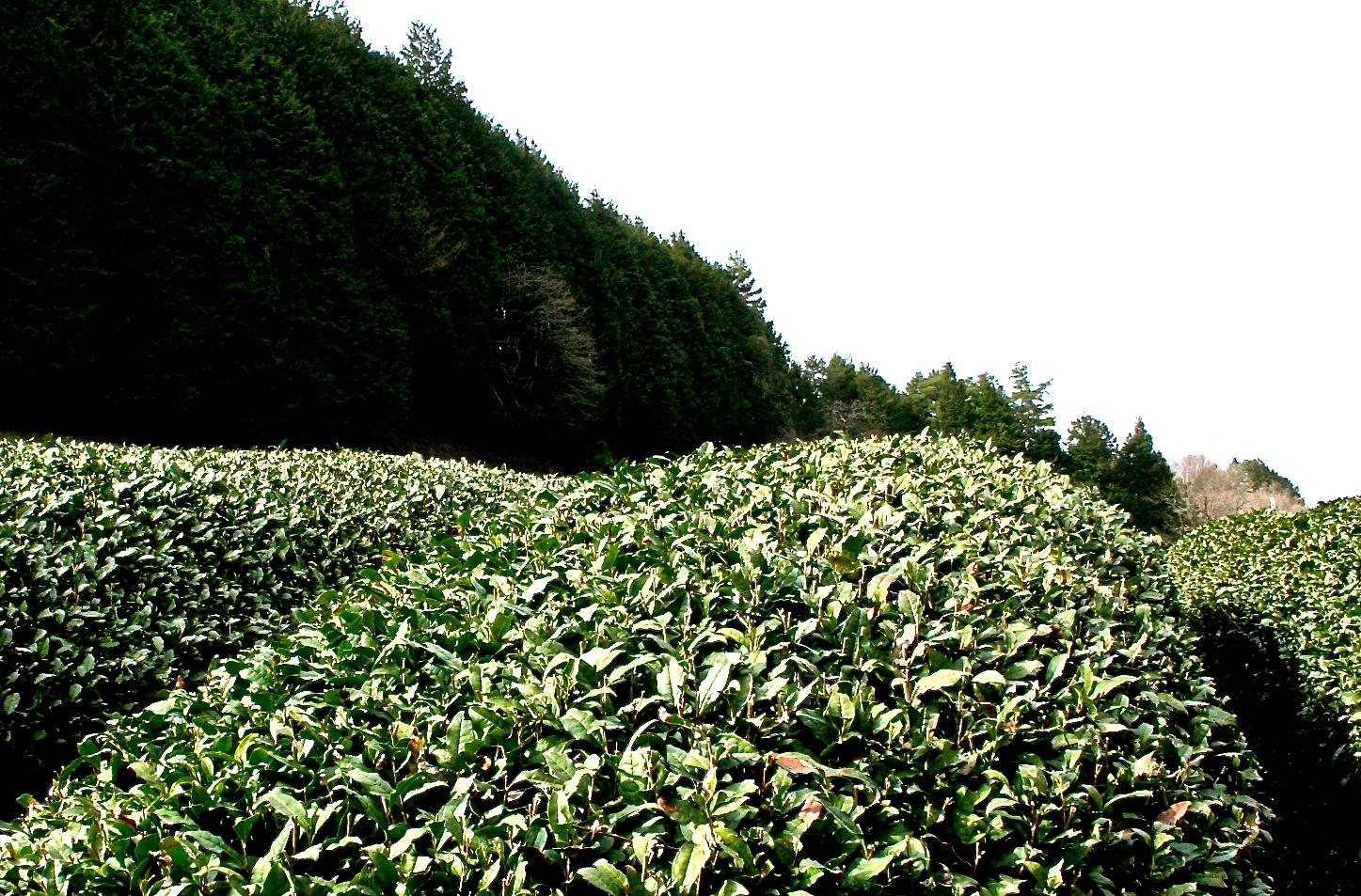 Tea field, Uji, Kyoto