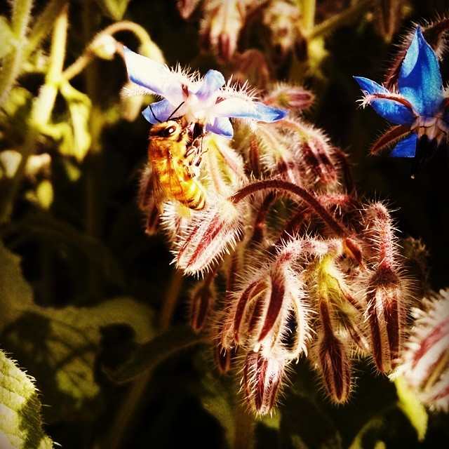 honebee & borage