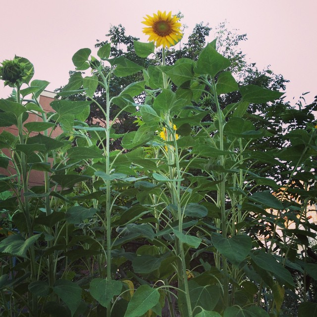 Hellooooo up there! Our #sunflowers are nearing 8 ft tall! Come say hello