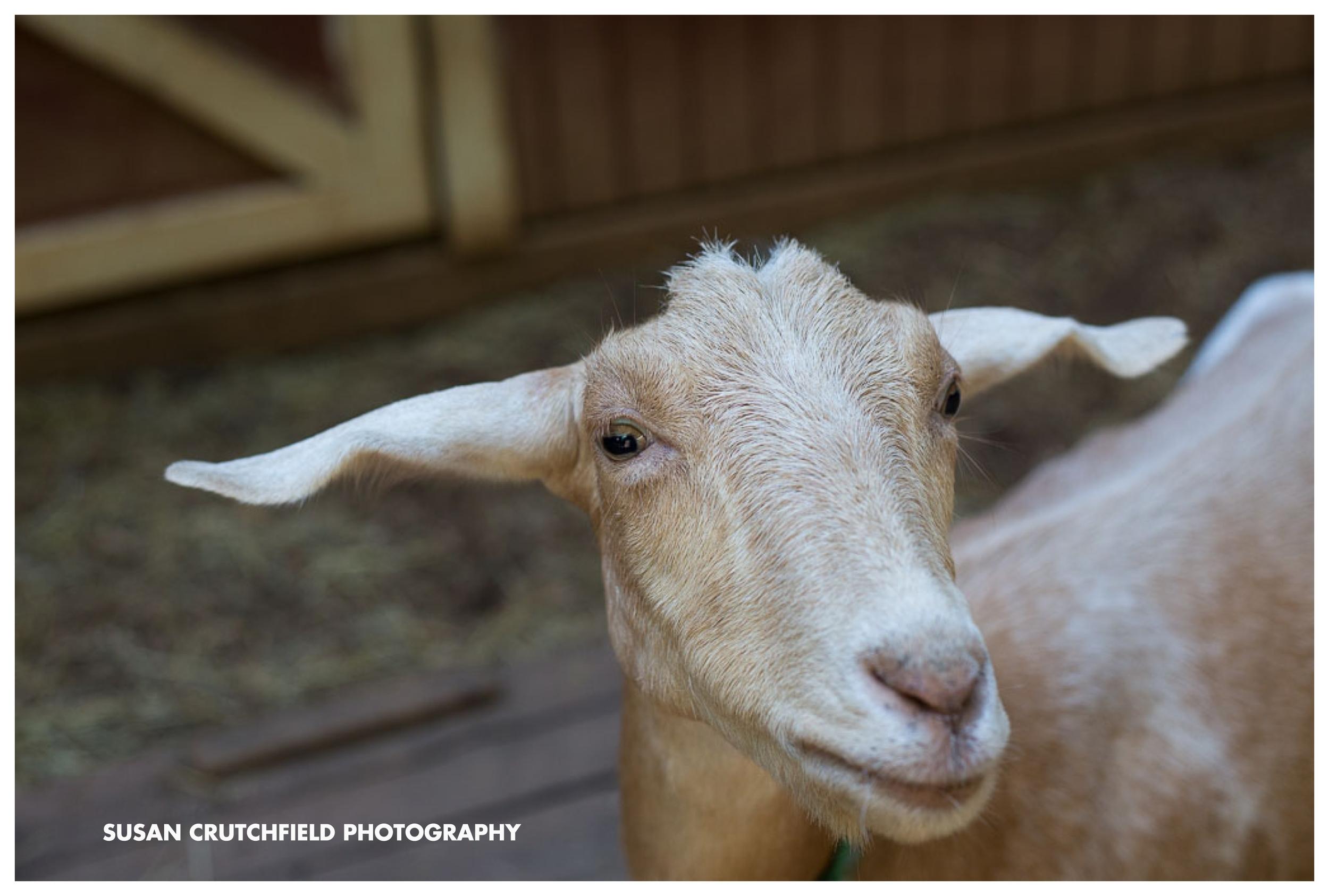 Goats Newnan, GA