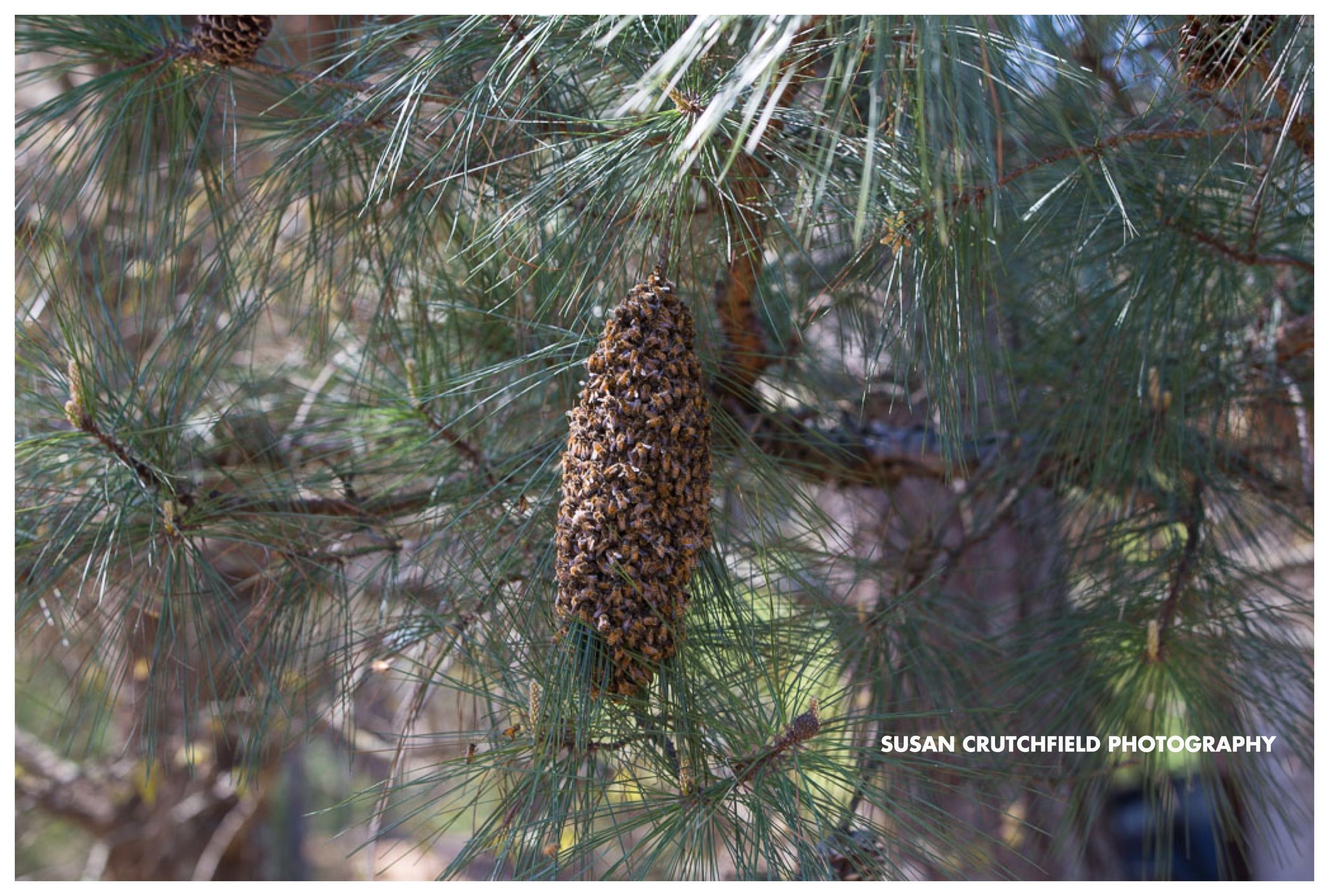 Bee Swarm in Newnan, GAwww.susancrutchfieldphotography.com