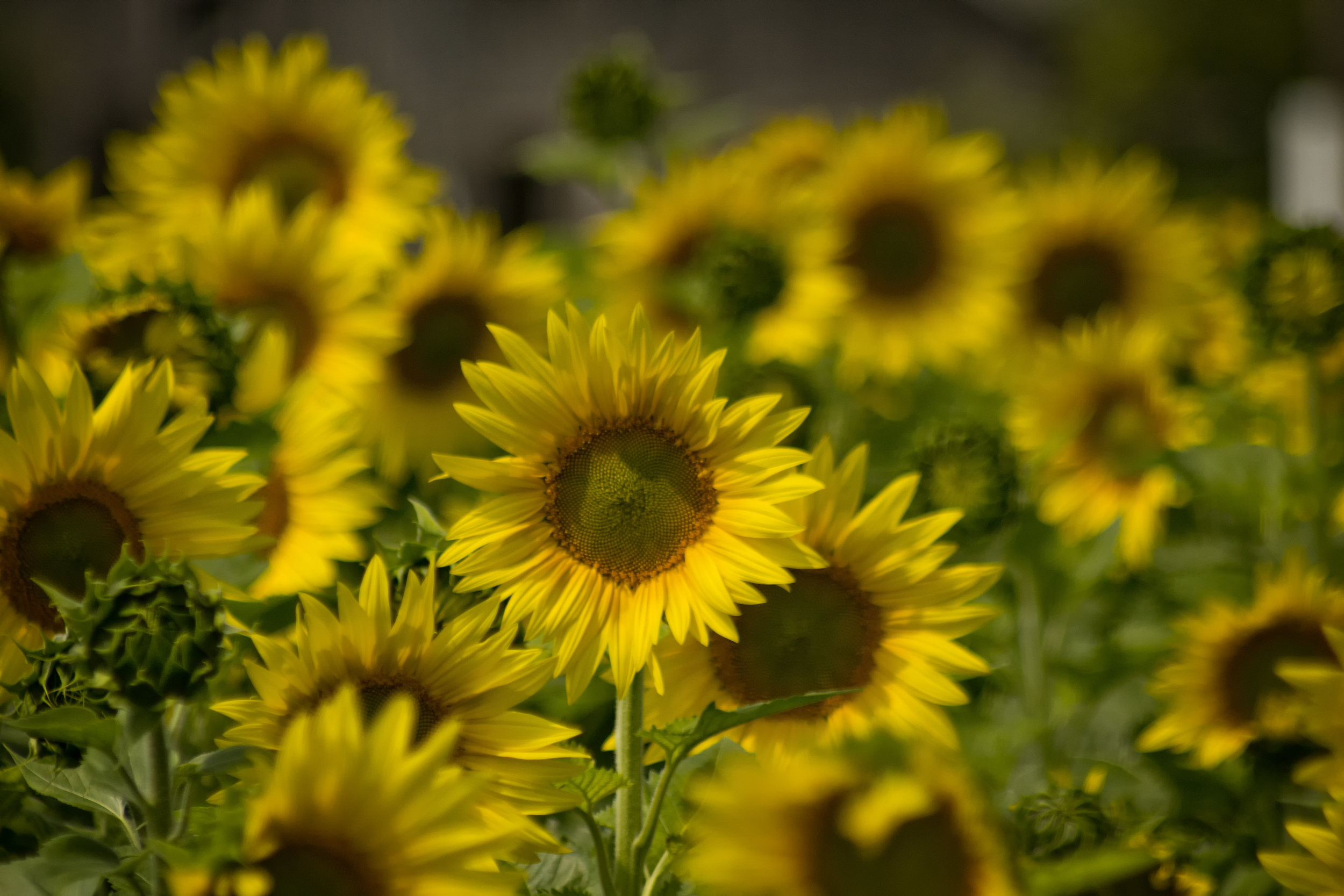 Linden Sunflowers
