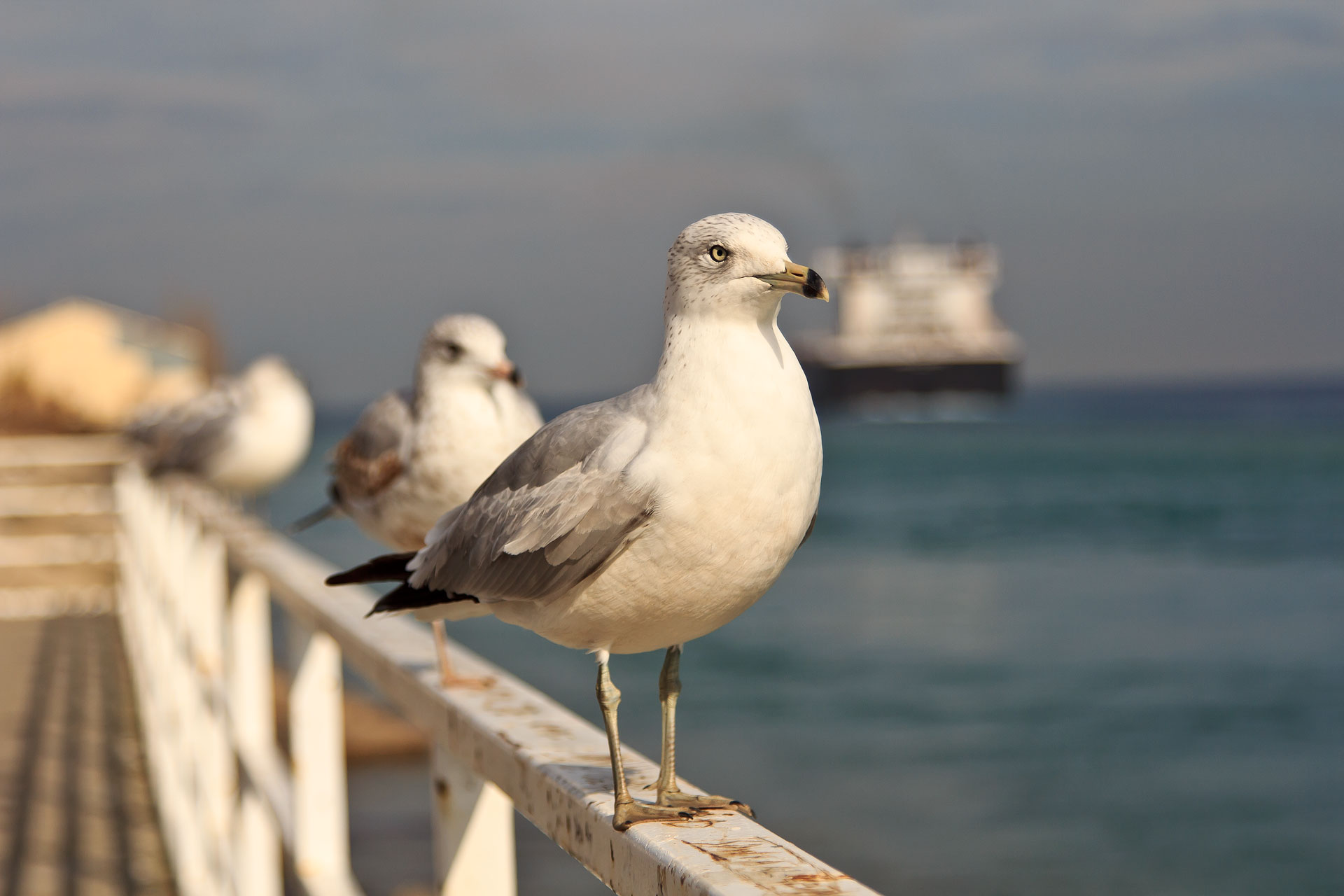 Port Huron Seagul