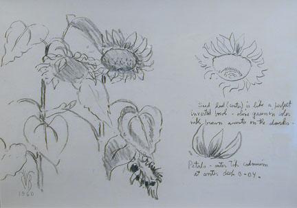 Studies of Sunflowers