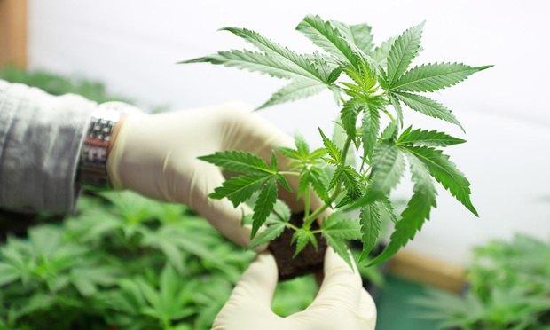 Marijuana-Growing-Article-201806061716.jpg
