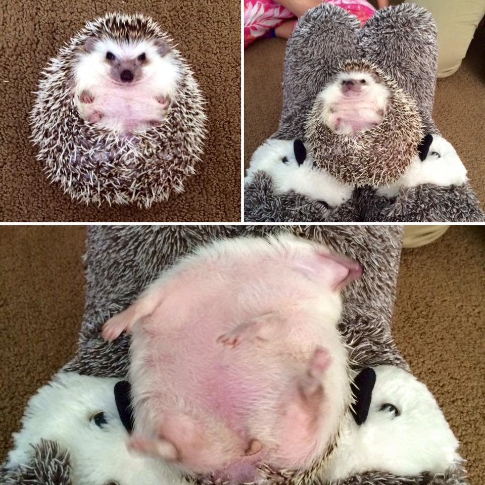 I met a hedgehog for the first time and she matched my slippers perfectly!