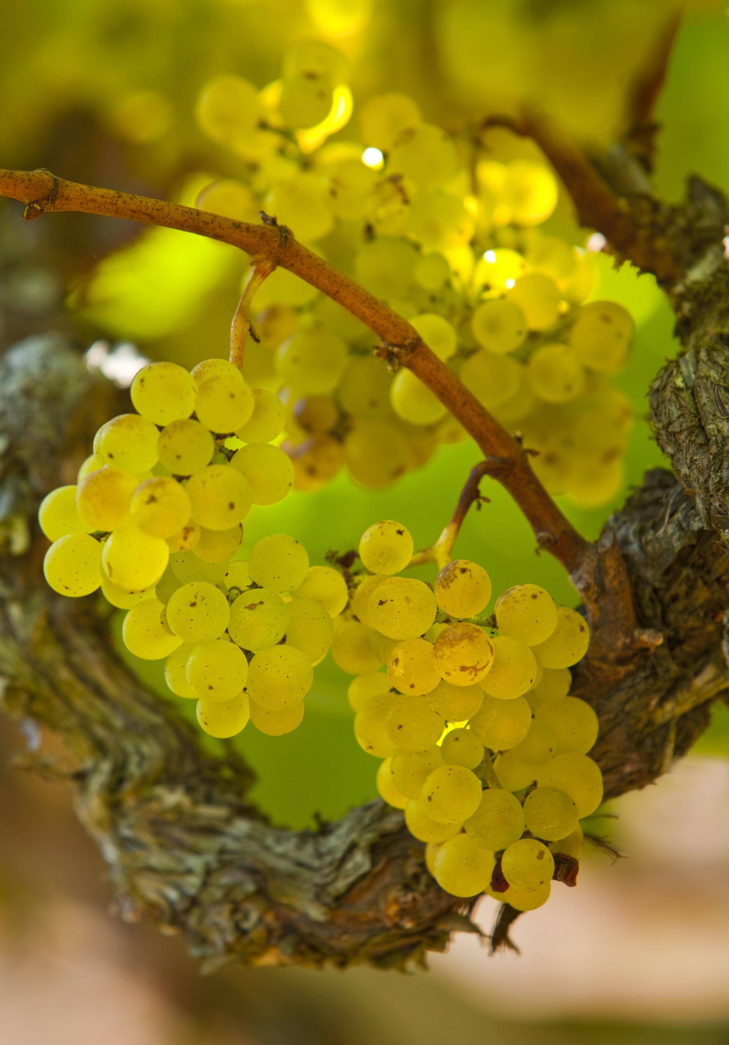 chardonnay grapes & vine