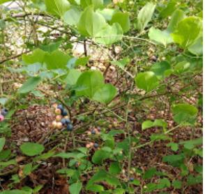 LotWildBlueberries.PNG