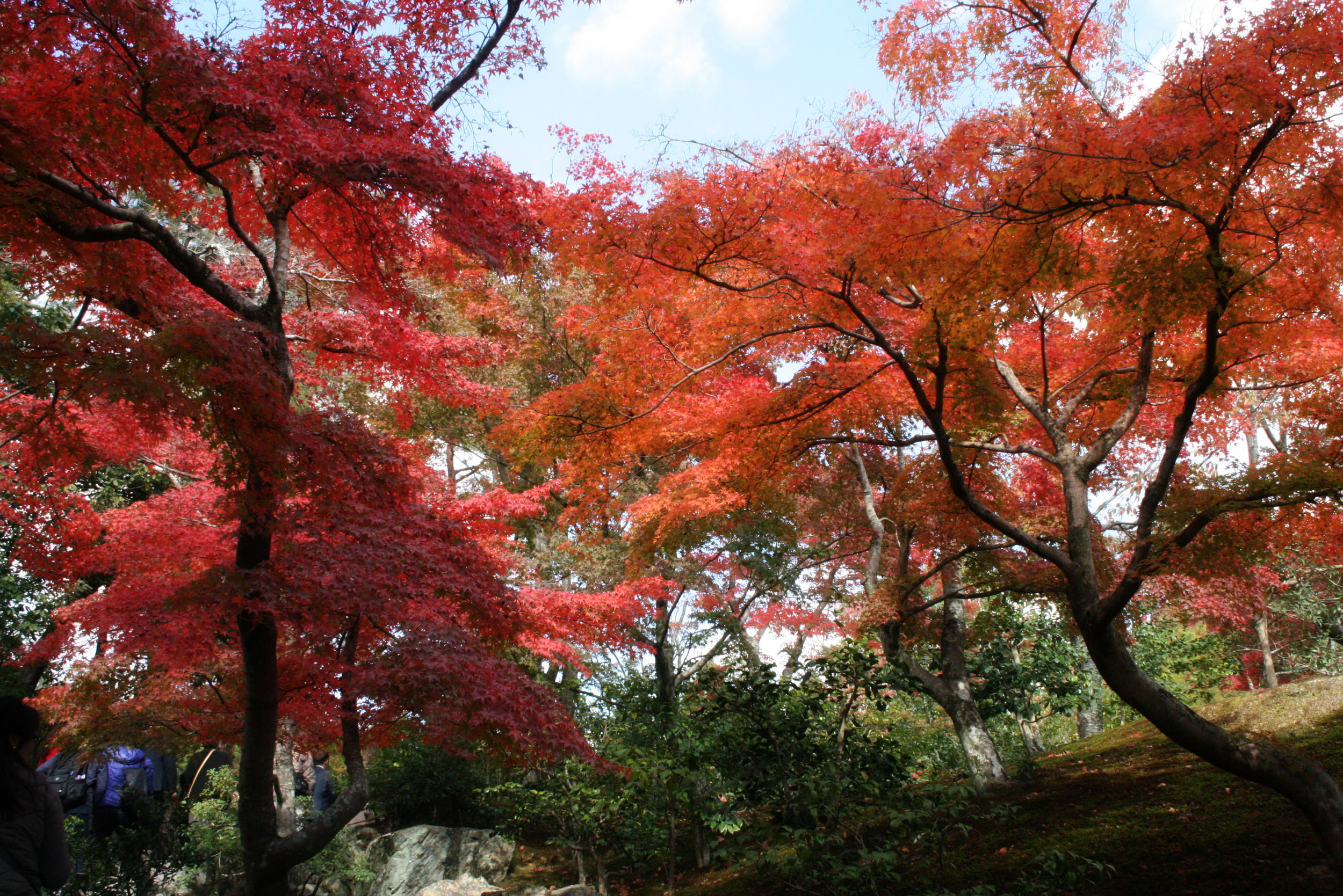 Maple Trees of Kyoto, Japan
