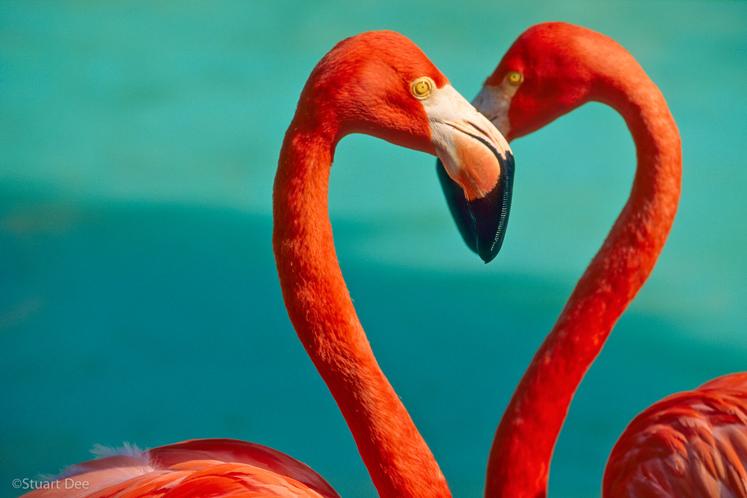 Two flamingoes forming heart with their necks, Hawaii, USA