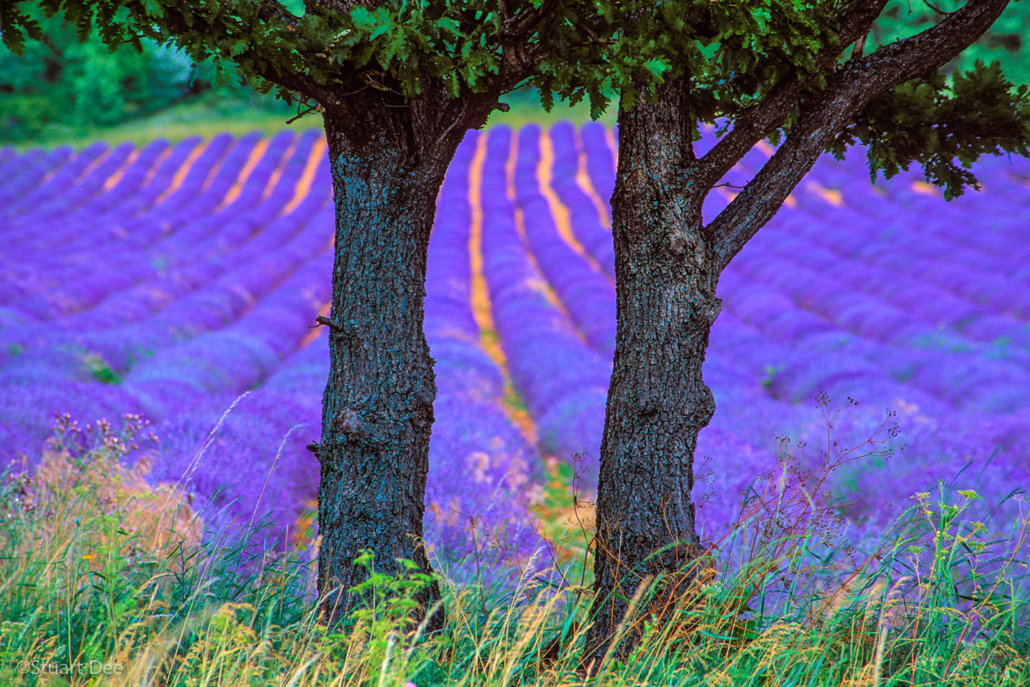 Trees and lavender fields, Provence, France