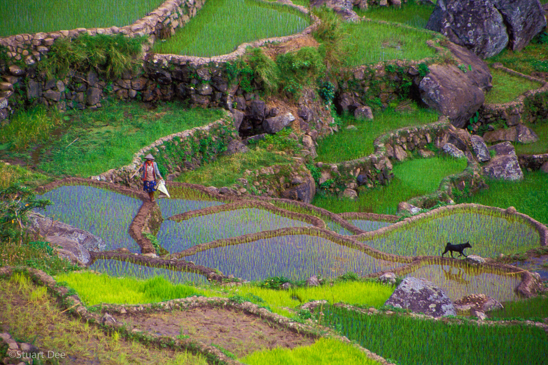 Farmer and Dog walking through the Rice Terraces, Sagada, Philippines