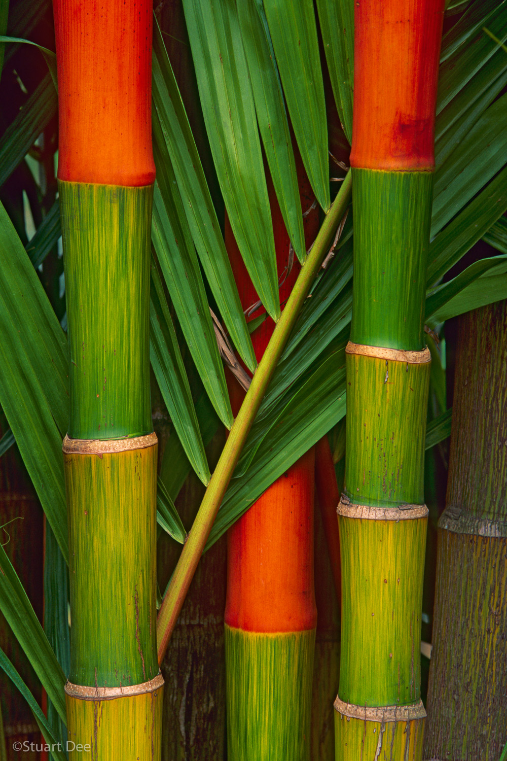 Orange and green bamboo, Kuala Lumpur, Malaysia. Bamboo is the fastest growing plant on earth, growing up to three feet a day. It is one of the most versatile materials found in nature, and is used in hundreds of products.