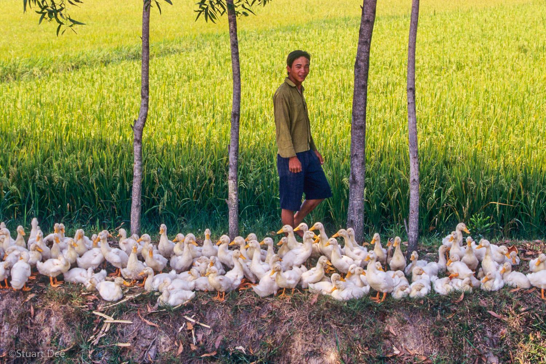 Flock of baby ducks, Mekong Delta, Vietnam