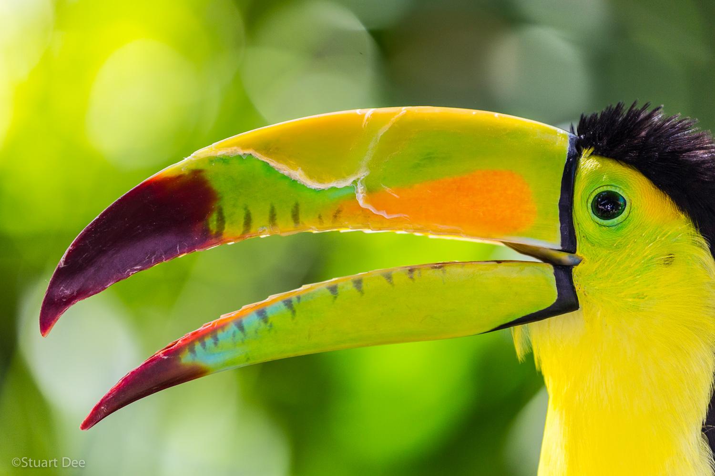 Keel-billed toucan, Riviera Maya, Mexico