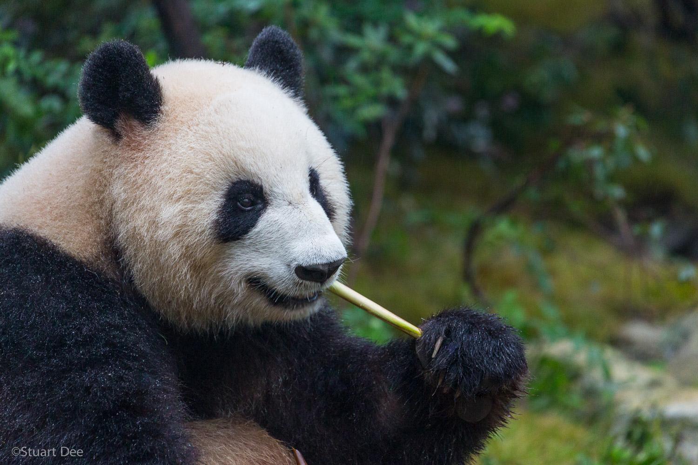 Giant Panda, Chengdu, Sichuan, China