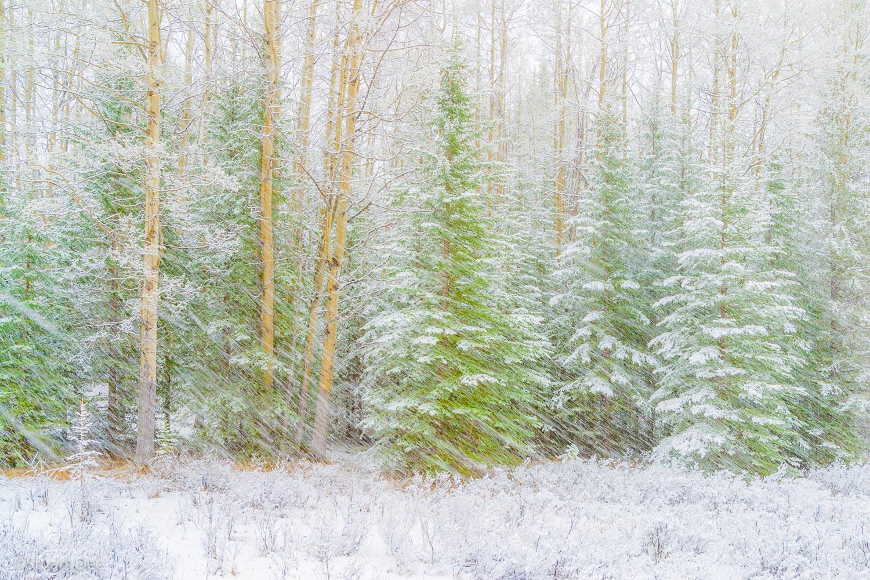 Snow falling on trees, Banff, Banff National Park, Alberta, Canada