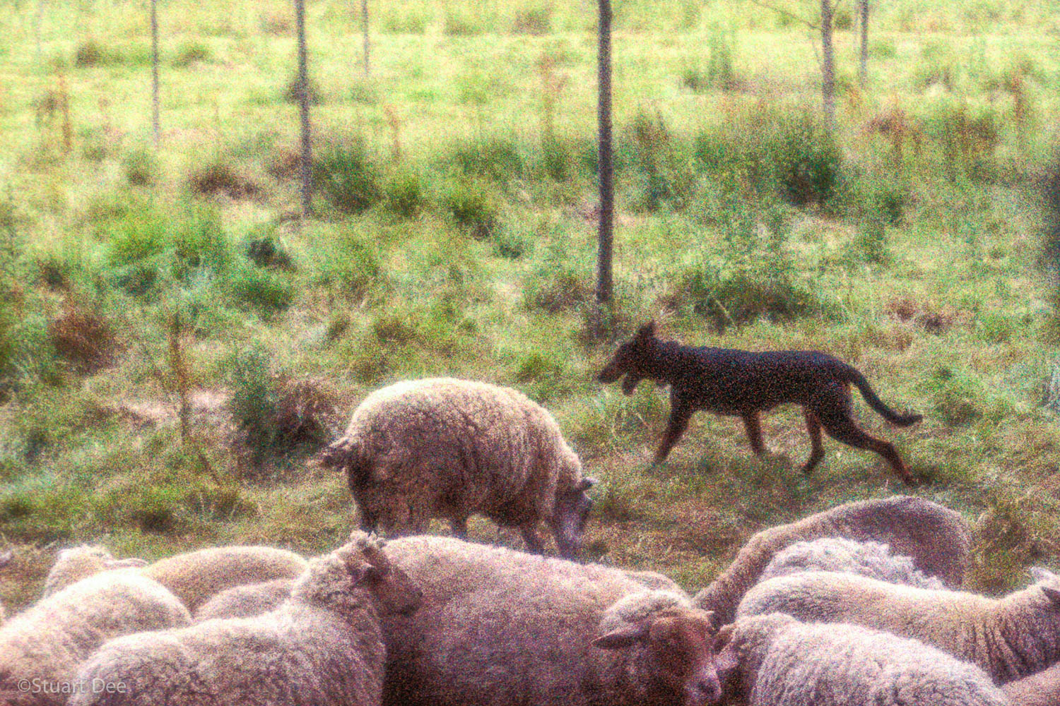 Sheep and Dog, Giverny, France