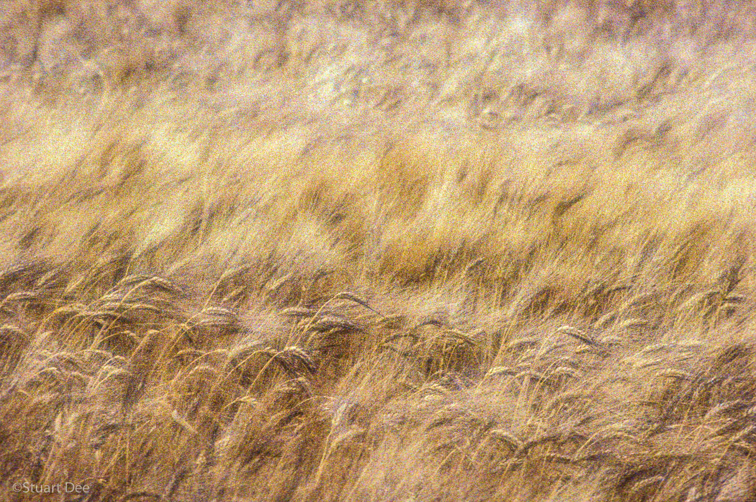 Wheat, Provence, France