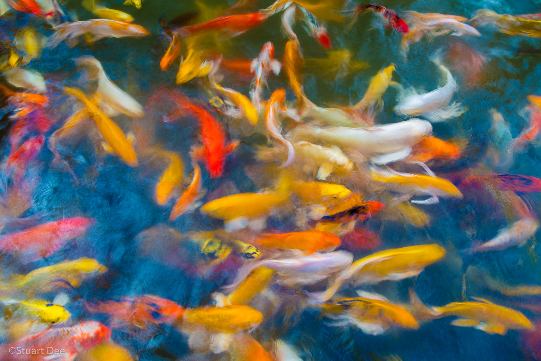 Koi fish in pond