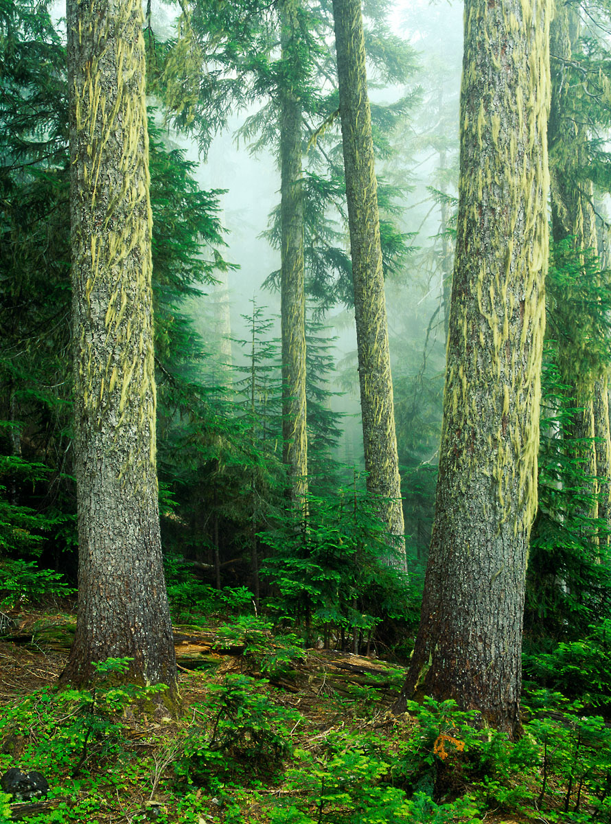 Old growth forest in fog, Mt. Baker Wilderness, Washington, Unit