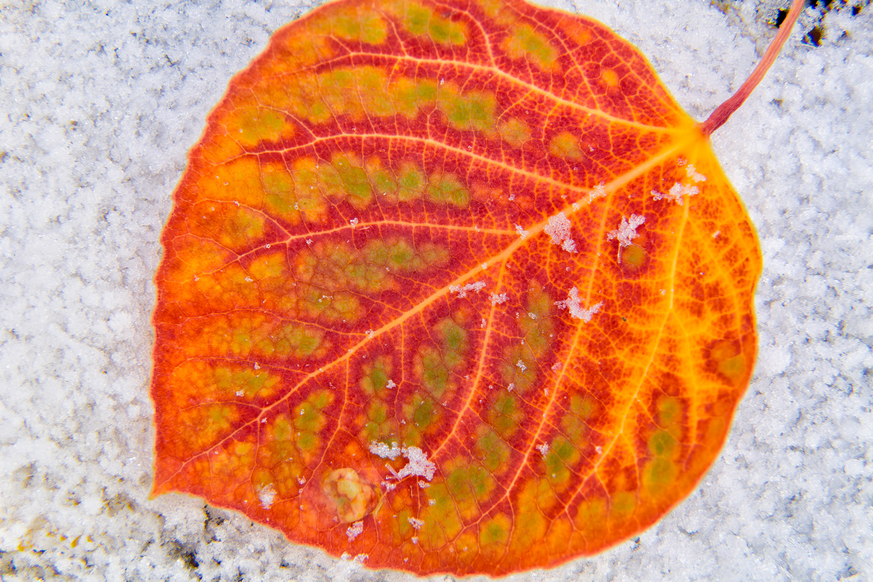 Landscape: Closeup of an aspen leaf in the snow in autumn, Wasatch Mountains, Utah