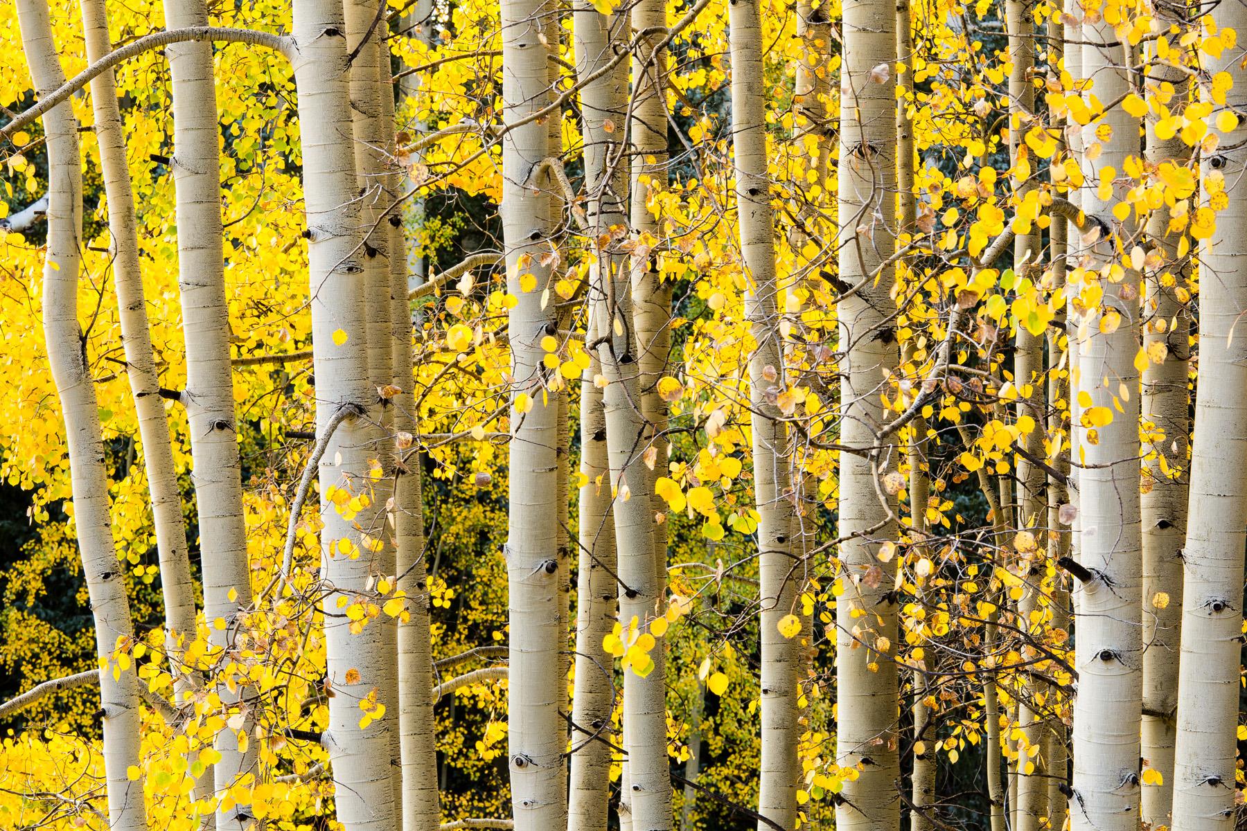 Landscape: Autumn colors of the Sneffels Range, Rocky Mountains, Colorado