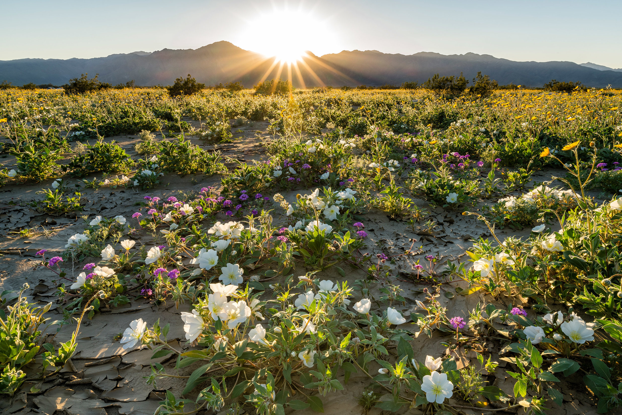 Landscape: Wildflowers in spring bloom, Anza-Borrego Desert State Park, California
