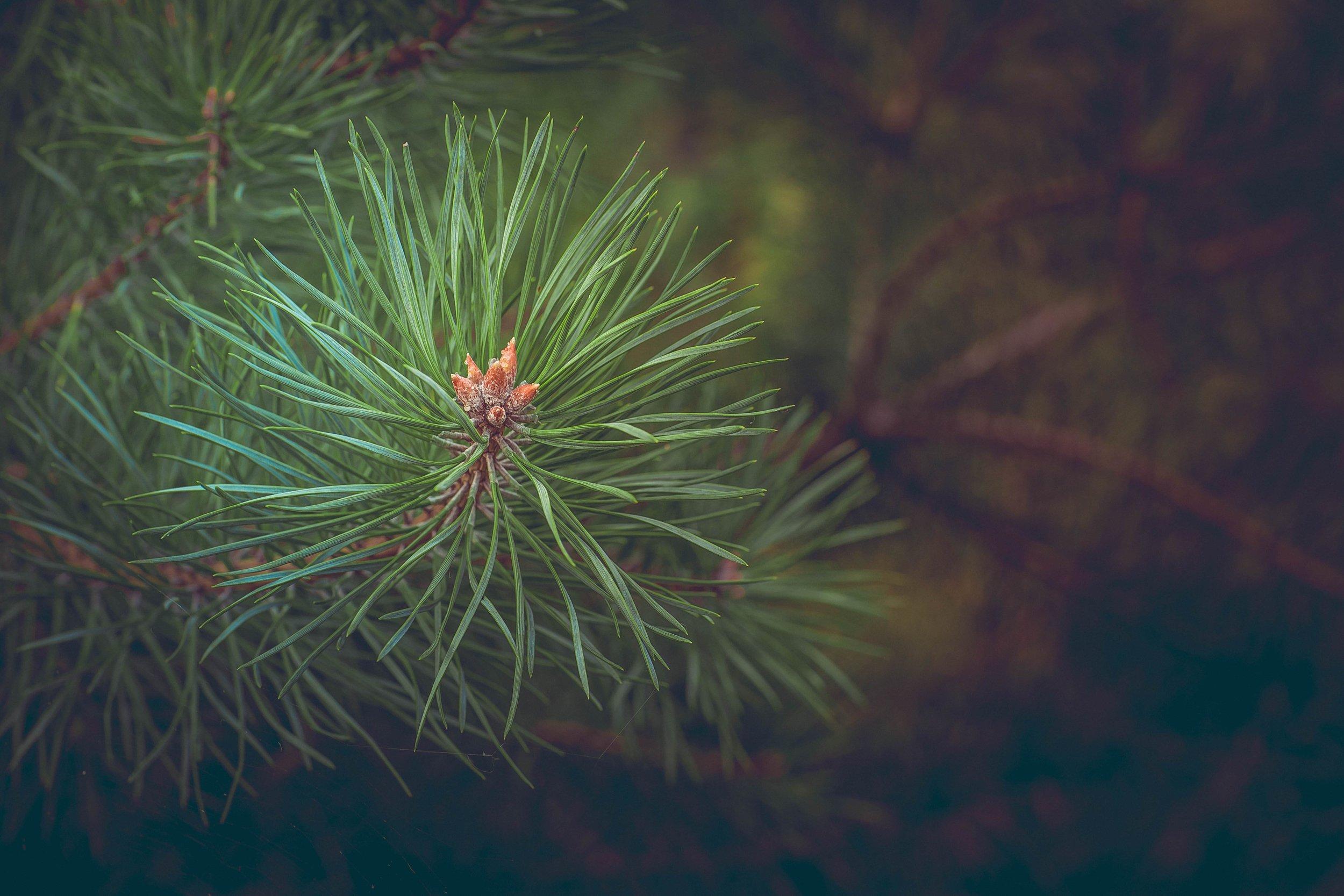 pine-463469_1.jpg