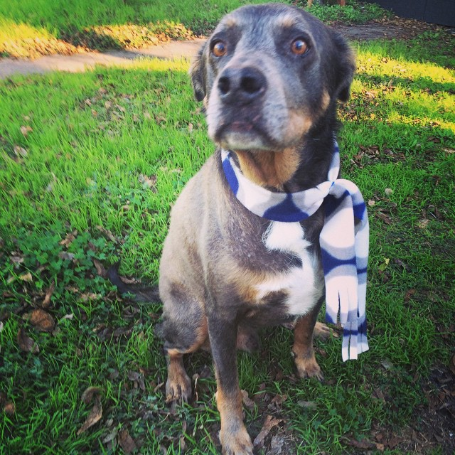 Nigel lookin' dapper in his new scarf after his bath with Ashley at Dirty Dog Mesa. ❤️❤️❤️ #austindog #austin #dogsofinstagram via Instagram  http://ift.tt/1vTh3Qs