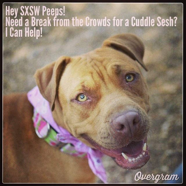 No #SXSW wristband required to cuddle with Melody! Come to kennel 34 at #TLAC (1156 Cesar Chavez in #ATX), take her to a playpen and get ready for some sweetness 🐾❤️ #Mutts #muttsrule #dogsofaustin #pitties #staffies #dogs #dogsrule #adoptme #austinanimalcenter #sxsw2014 #adoptdontshop–posted by skylinepetcare on Instagram