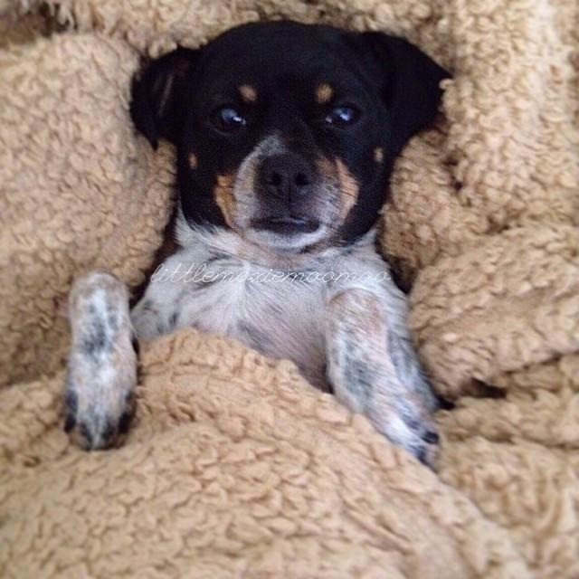 I'm gonna be honest, I'm not getting up. Bring me my food woman. #spoileddog #dinnerinbed #littlemoxiemoomoo #cheagle #dogsofaustin #dogsofinstagram–posted by littlemoxiemoomoo on Instagram