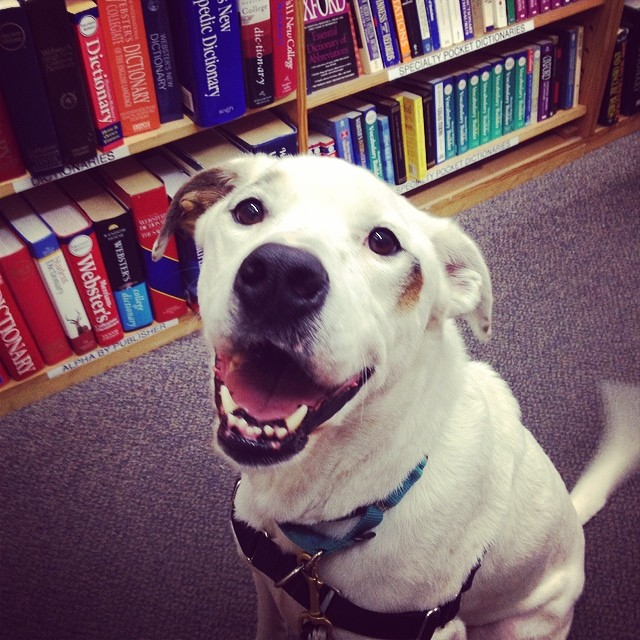 Finnegan enjoyed his first trip to @halfpricebooks this afternoon!  Clearly, our boy is a gentleman and a scholar. #finnegan #adoptable #dog #austinanimalcenter #dogsoutloud #gentleman #scholar #halfpricebooks #professordog #pointer #handsome #goofy #atx #shelterdog #atxdogs #dogsofinstagram #goodboy–posted by dogsoutloud on Instagram