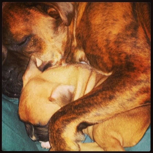 Oh my. @jramirez63 rescue #boxer buddy Rufio from @austinpetsalive got a new sister named Supra @boxer_buddies @dogsofinstagram @lifeanddog #puppylove #dogfamily #packlife #dog #puppybowl–posted by vodkafordogpeople on Instagram